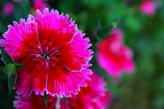 Flor by Carlos Bussenius, via Flickr