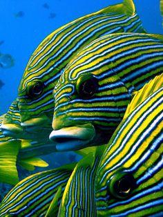 Sweetlips Ribbon Fish