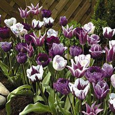 Blueberry Cream Tulip Mixture Cool shades of blue in a mixture that's easy to plant and grow. Breck's® experts in Holland have selected this blue mixture so you don't have to decide which tulips complement one another.
