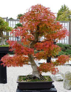 a Bonsai Tree | Flickr - Photo Sharing!