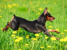 I believe I can fly,. Mini Pinscher, Miniature Pinscher, Cute Dogs And Puppies, Big Dogs, I Love Dogs, Doggies, Mini Doberman, Min Pin Dogs, Dog Names