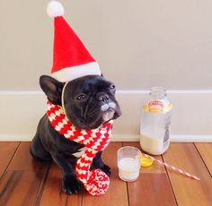 Trotter Le Pup, (He Obviously just stole Santas Milk and Cookies). French Bulldog.
