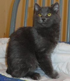 Check out Quincy's profile on AllPaws.com and help him get adopted! Quincy is an adorable Cat that needs a new home. https://www.allpaws.com/adopt-a-cat/domestic-medium-hair/485442?social_ref=pinterest