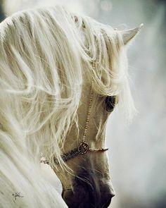 I love Arabian 'greys'! Hopefully someday I will have my own White Arabian Mare.