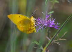 Orange-Barred Sulphur butterfly - the colors of nature astound me... via Joel Eagle, photographer