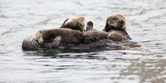 File:Mother sea otter with rare twin baby pups (9137181693).jpg ...
