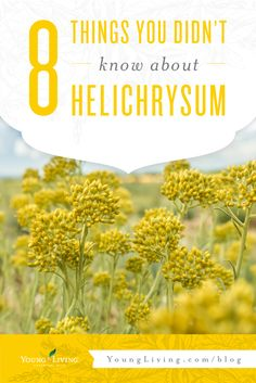 Did you know that Helichrysum can help smooth your skin's appearance? Find out more about this essential oil here. Essential Oils For Face, Therapeutic Grade Essential Oils, Young Living Essential Oils, Helichrysum Essential Oil Uses, Helichrysum Oil, Young Living Helichrysum, Young Living Oils, Oil Benefits, Oils For Skin
