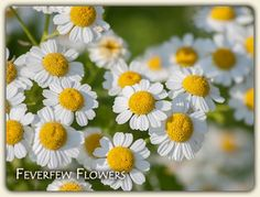 Feverfew Migraine Treatment by Jeannine Tidwell ~ Great information as well as other uses for Feverfew in natural medicine.