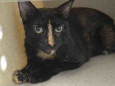 ***TBD UNKNOWN STATUS 08/04/16***PRETTY KASHA was brought into the shelter as a stray. KASHA is a GORGEOUS tortie with big…