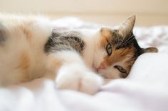 Some cat breeds tend to be more or less affectionate and friendly than others. Here is our list of the top 10 most affectionate cat breeds of all time! Cute Cats And Kittens, I Love Cats, Crazy Cats, Kittens Cutest, Calming Cat, Cat Ages, Photo Chat, Cat Sleeping, Domestic Cat