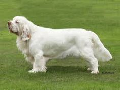 Clumber Spaniel - the heaviest spaniel breed Spaniel Breeds, Dog Breeds, Clumber Spaniel, Spaniels, Dogs Of The World, Dog Love, Labrador, Scenery, Animals