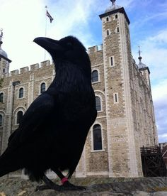 One of the Tower of London's ravens standing in front of the White Tower.