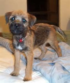 The Border Terrier, which was recognized by the American Kennel Club in 1930, nonetheless remains a preferred among hunters and has even become well-liked as a show dog and a loveable pet.