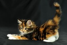tree-the-cat: magical-meow:Irina Shvayakova ~ This Maine Coon cutie's name is named Orgami Nah that's tree as a kit Cute Baby Cats, Cute Kittens, Cute Baby Animals, Pretty Cats, Beautiful Cats, Animals Beautiful, Kittens And Puppies, Cats And Kittens, Ragdoll Kittens