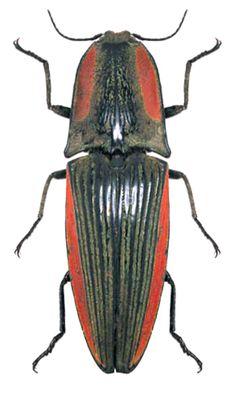 Chalcolepidius escholtzi