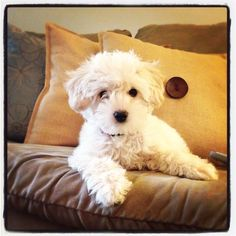 Miss Posie, my Maltipoo puppy