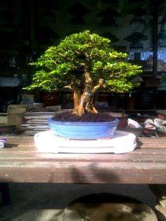 Recommendations For Bonsai Growing in Adelaide, California Bonsai Ficus, Bonsai Art, Bonsai Garden, Bonsai Trees, Garden Trees, Miniature Trees, Ikebana, Nirvana, Sheds