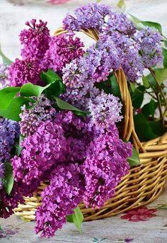 "chamarichobdee on Twitter: ""Hello dear friends. Have a beautiful Saturday 🙏😄🌻🌸🌺🌸🌺🌷… "" Purple Flower Names, Types Of Purple Flowers, Lilac Flowers, Big Flowers, Exotic Flowers, Pretty Flowers, Purple Roses, Beautiful Flower Arrangements, Most Beautiful Flowers"