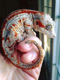 Red stripe Gargoyle Gecko