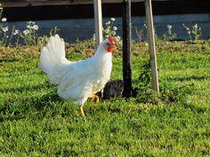 Laitilan Kanatarham Free Range eli ulkokana. Kananmunia löytyy kaupoista nimellä Ulkokananmunat. Kuva Peltoniemen tilalta.