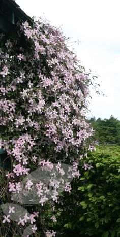Ideal for a north-facing spot, Clematis Fragrant Spring is best planted close to an entrance or a path where its exquisite fragrance can be appreciated