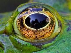 Mooi oog van de groene kikker.