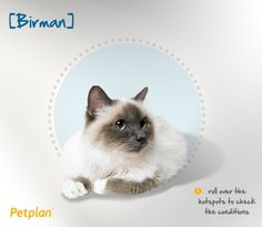 """Also known as the """"Sacred Cat of Burma,"""" the Birman came from Southeast Asia, where they were kept by Burmese temple priests before being introduced to Europe in 1916."""