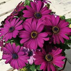 The first African Daisy to be offered by separate colors, Asti™ Purple sets blue-toned daisies, 2 inches bloom. H18 20. W2f