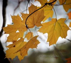 Transitioning Maple leaves