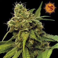 Barneys Farm - Utopia Haze Feminised Cannabis Seeds - Buy Cannabis Seeds Online   Dr Chronic Seeds   London   Essex   UK   The Original Cannabis Seed Emporium   The Worlds Best Marijuana Seeds