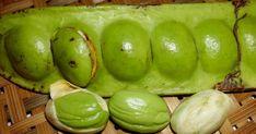Pete,petai, peteh atau dalam bahasa latinnya Parkia speciosa adalah tanaman yang sangat populer di asia tenggara seperti Indonesia, Malaysia...