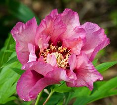 Single to Semi-Double Itoh Peony 'Visions of Sugar Plums' (Paeonia itoh)