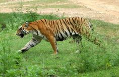 'Hejje', mobile application for tracking tigers launched