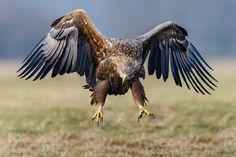 Eagle de KrzysztofM