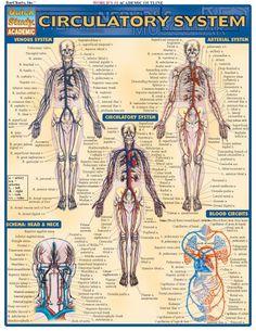 Circulatory System. #Psychological #Disorders #hawaiirehab www.hawaiiislandrecovery.com