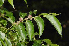 https://flic.kr/p/4uZHvv | 大戟科 饅頭果屬 披針葉饅頭果 (葉果2)  野柳 Glochidion zeylanicum var. lanceolatum