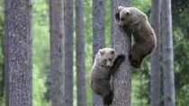 Preview bears, couple, tree, climbing, forest