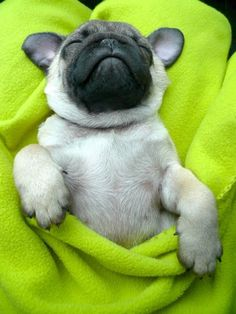Sleeping pug pup. Love the ears and bunny arms. ♥ Clean pug! Pug Love dog doggie puppy boy girl black fawn funny fat outfit costume