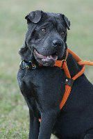 Beauty is an adoptable Shar Pei searching for a forever family near Canyon Lake, TX. Use Petfinder to find adoptable pets in your area.
