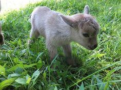 animal, goat, and cute-bild