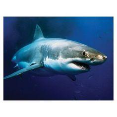 JP London LCNV2395 Great White Shark Undersea Gallery-Wrapped Canvas Art