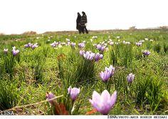 Harvesting Saffron in Birjand, Iran