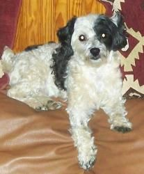 Lil Buddy is an adoptable Maltese Dog in Greeneville, TN. Buddy is a 3 year old Malti-Poo that was tied in the back yard by his previous owners. He is house trained and gets along with all other dogs ...
