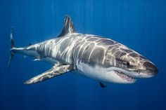Sony a9 underwater review: Shooting great white sharks #photography