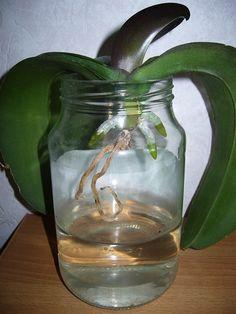 орхидея фаленопсис на керамзите в стеклянных вазах - Поиск в Google