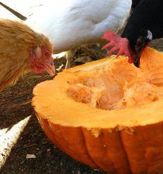Pumpkin treats for chickens!