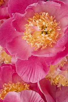 Pink and Yellow Peonies by Rita Colantonio