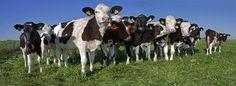 Curios Cows in Friesland Holland