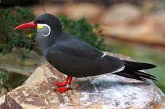 winner of an inca tern
