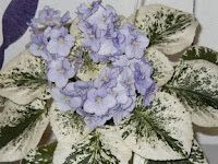 North Star African Violet Council Twin Cities: Variegated African Violets